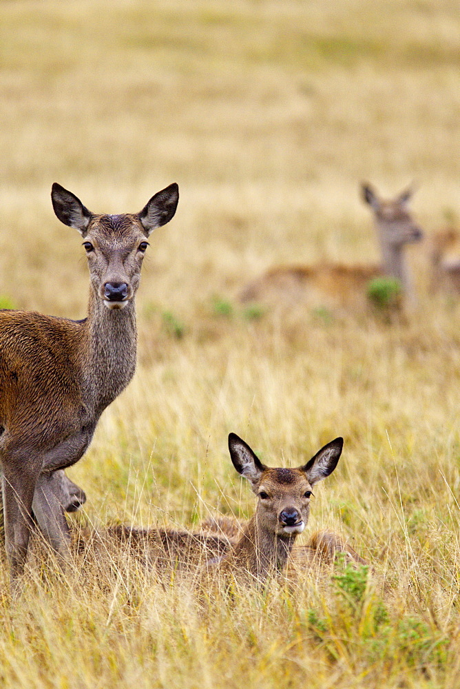 Red deer (Cervus elaphus) hinds, Richmond Park, Surrey, England, United Kingdom, Europe - 836-22