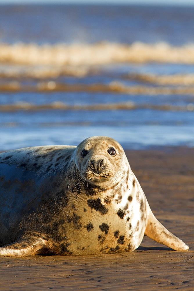 Grey seal (Halichoerus grypus) on beach, Donna Nook, Lincolnshire, England, United Kingdom, Europe - 836-28