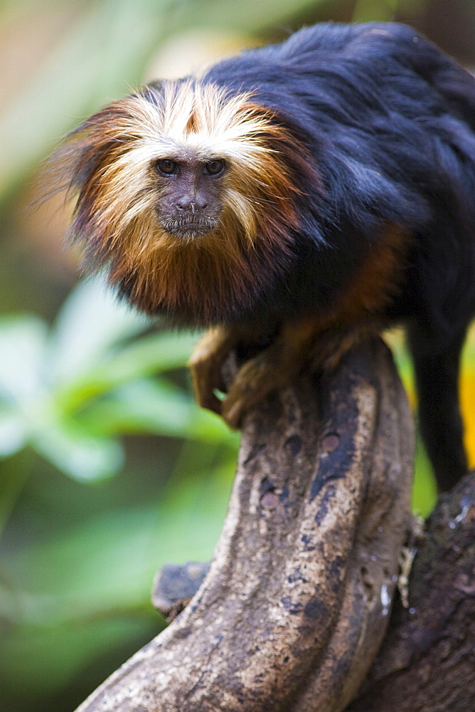 Golden headed lion tamarin (Leontopithecus chrysomelas) in the trees, controlled conditions, United Kingdom, Europe