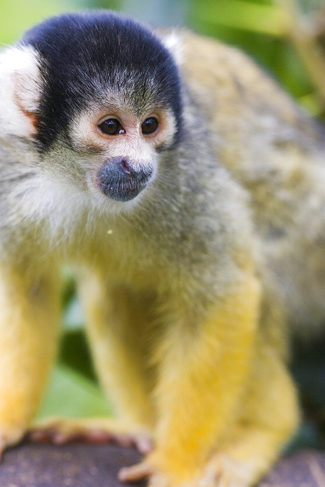 Black capped squirrel monkey (Saimiri boliviensis) alert on log, controlled conditions, United Kingdom, Europe
