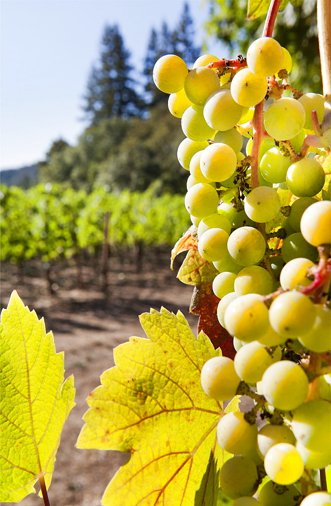 Close-up of grapes in a vineyard, Napa Valley, California, United States of America, North America  - 839-65