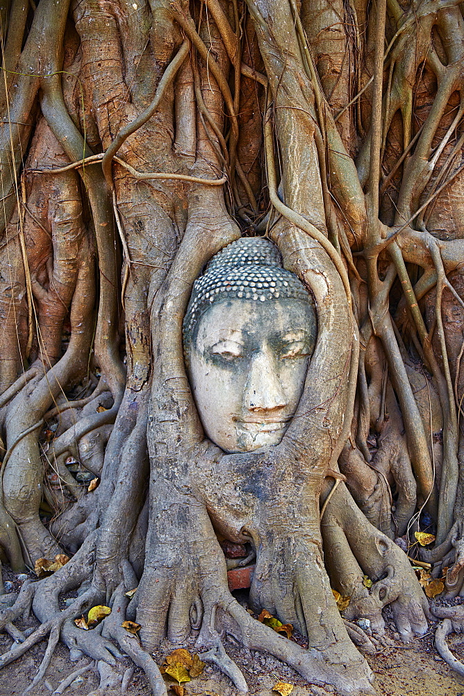 Stone Buddha head entwined in the roots of a fig tree, Wat Mahatat, Ayutthaya Historical Park, UNESCO World Heritage Site, Ayutthaya, Thailand, Southeast Asia, Asia *** Local Caption *** cuvres used to bring out red in top of roots and blue at bottom of r