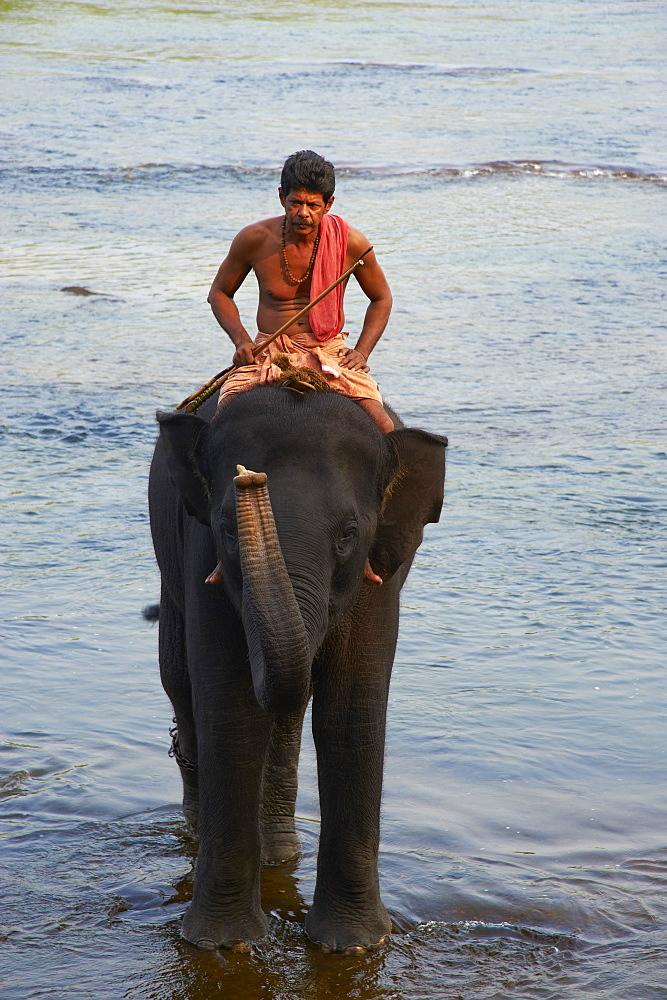 Elephant training centre at Kodanad, Kerala, India, Asia