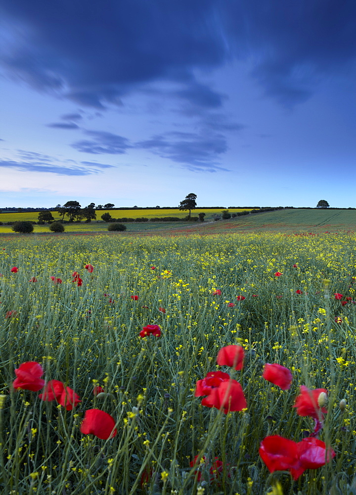 A beautiful field of wild flowers at Ringstead, Norfolk, England, United Kingdom, Europe