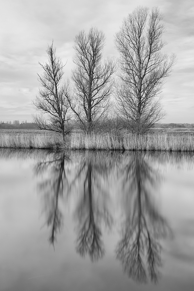 Trees reflected in the River Bure near Ludham Bridge, Norfolk, England, United Kingdom, Europe