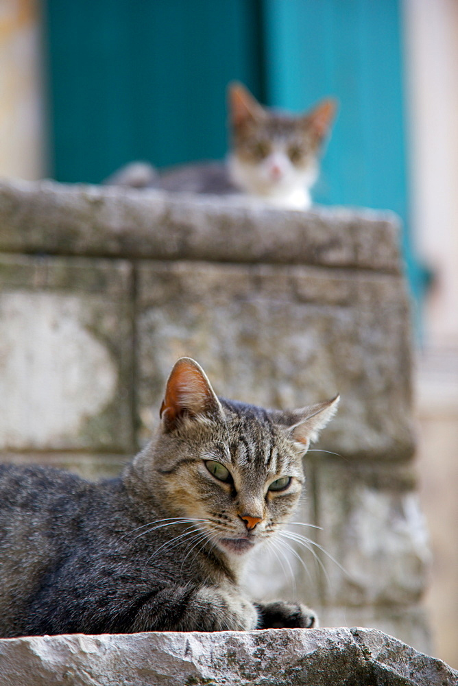 Cats in the Old Town, Kotor, Montenegro, Europe - 844-1381