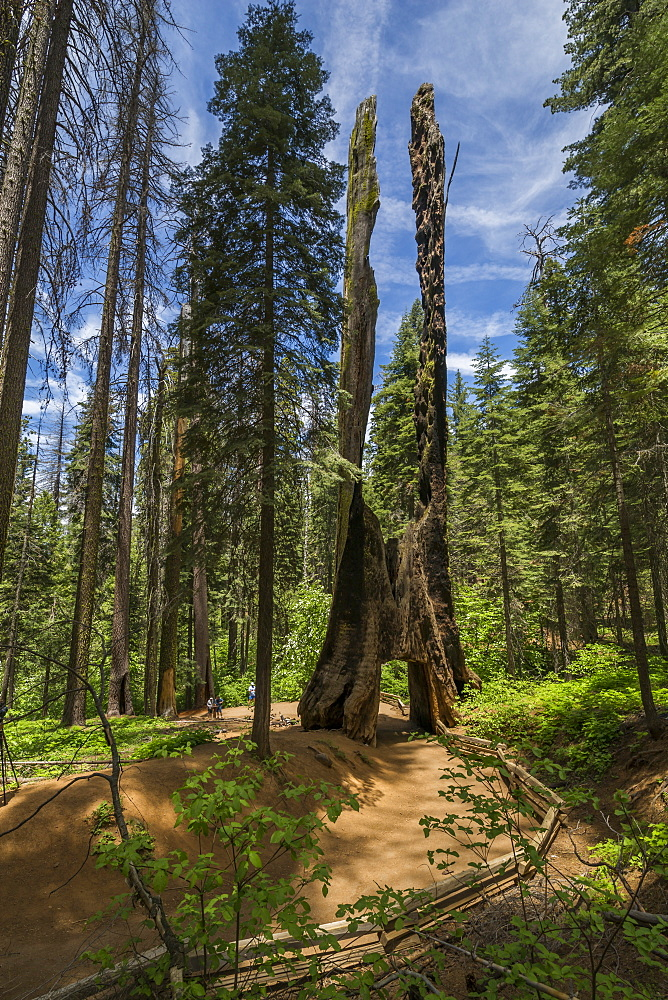 View of Giant Sequoias tree in Tuolumne Grove Trail, Yosemite National Park, UNESCO World Heritage Site, California, United States of America, North America