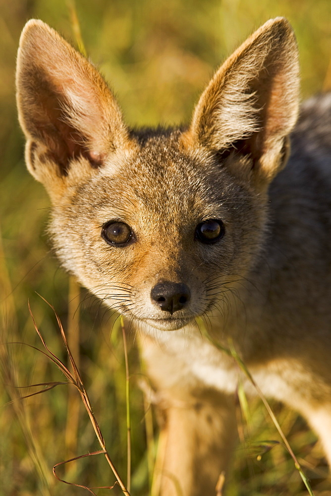 A curious and surprisingly bold black-backed jackal cub in the Masai Mara National Reserve, Kenya, East Africa, Africa