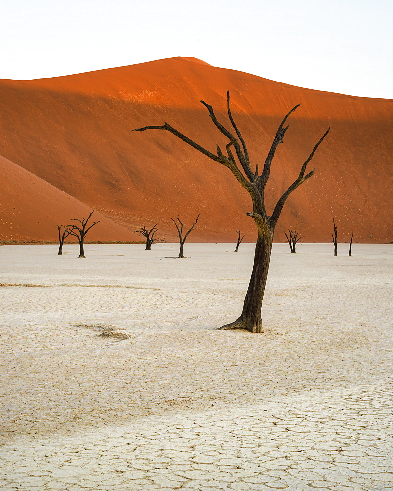 Camelthorn trees (Acacia erioloba) in the clay pans of Deadvlei with Big Daddy dune towering above, Namib Naukluft, Namibia, Africa
