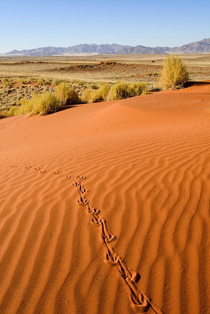 Tracks in the sand dunes, NamibRand Nature Reserve, Namib Desert, Namibia, Africa  - 847-386