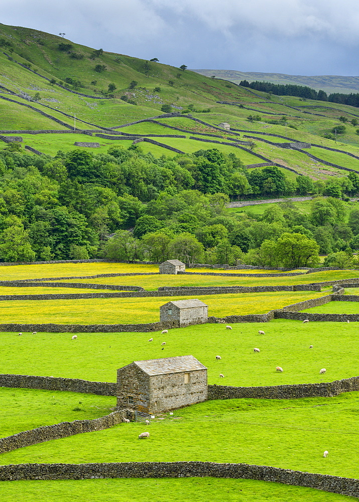 The barns, dry stone walls and buttercup meadows at Gunnerside, Swaledale, North Yorkshire, Yorkshire, England, United Kingdom, Europe - 847-437