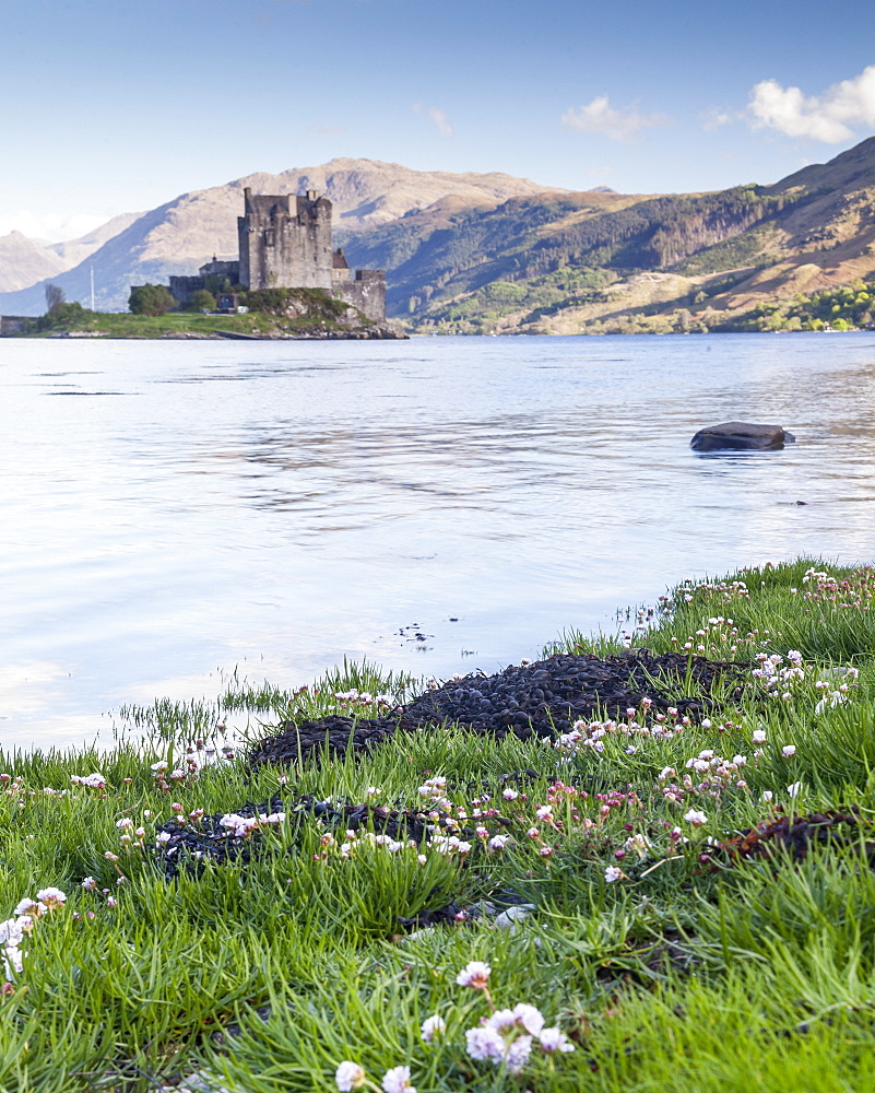 Seathrift flowers in front of Eilean Donan castle and Loch Duich, Highlands, Scotland, United Kingdom, Europe