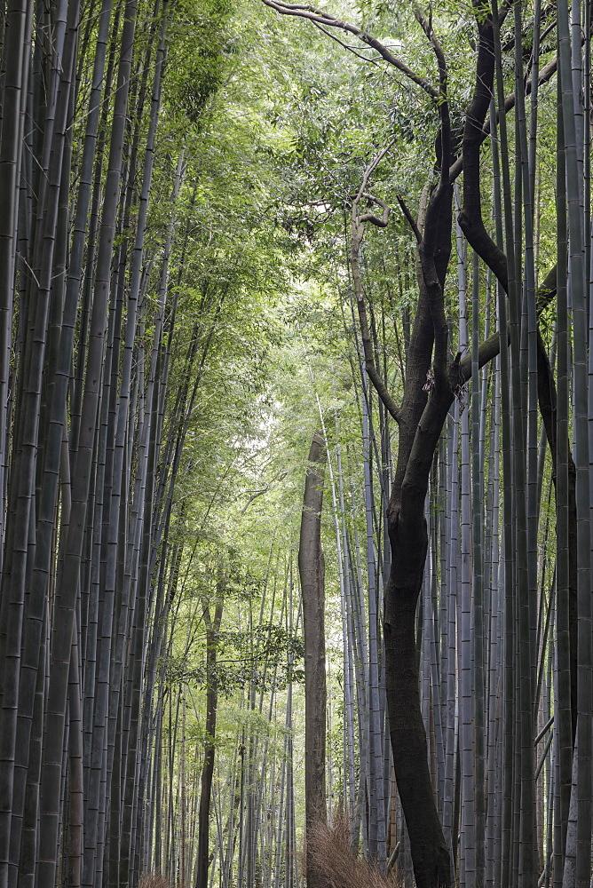 The Arashiyama Bamboo Grove in Kyoto, Japan, Asia