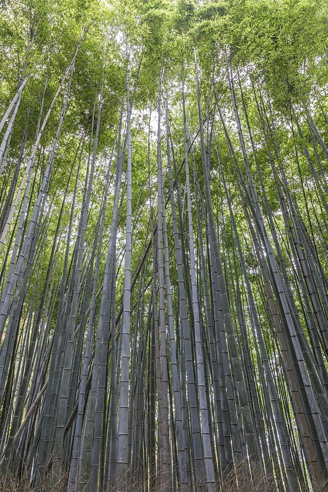The Arashiyama Bamboo Grove in Kyoto, Japan.