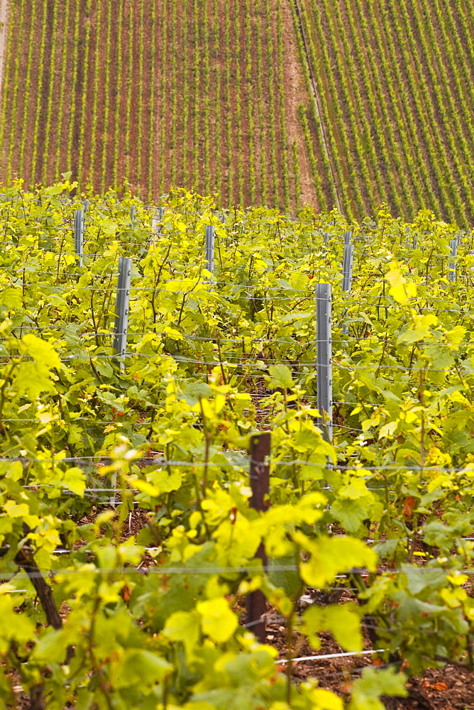 Champagne vineyards near to Les Riceys in the Cote des Bar area of the Aube department, Champagne-Ardennes, France, Europe