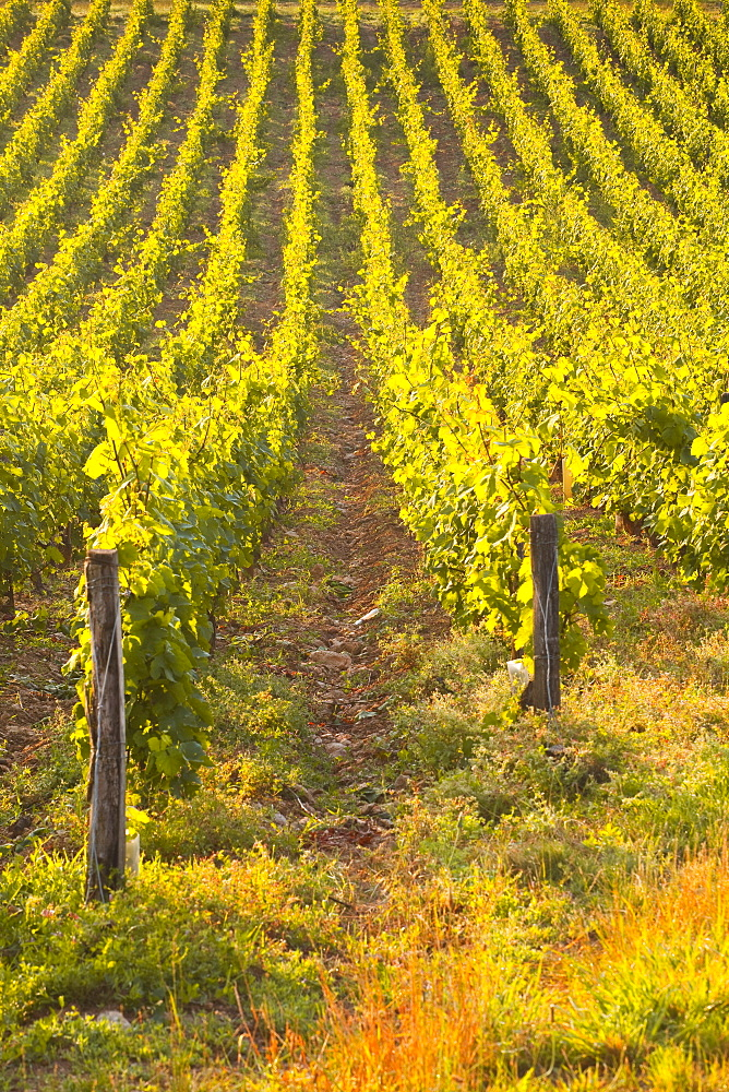 Rows of grape vines in vineyard near to Vezelay in Burgundy, France, Europe