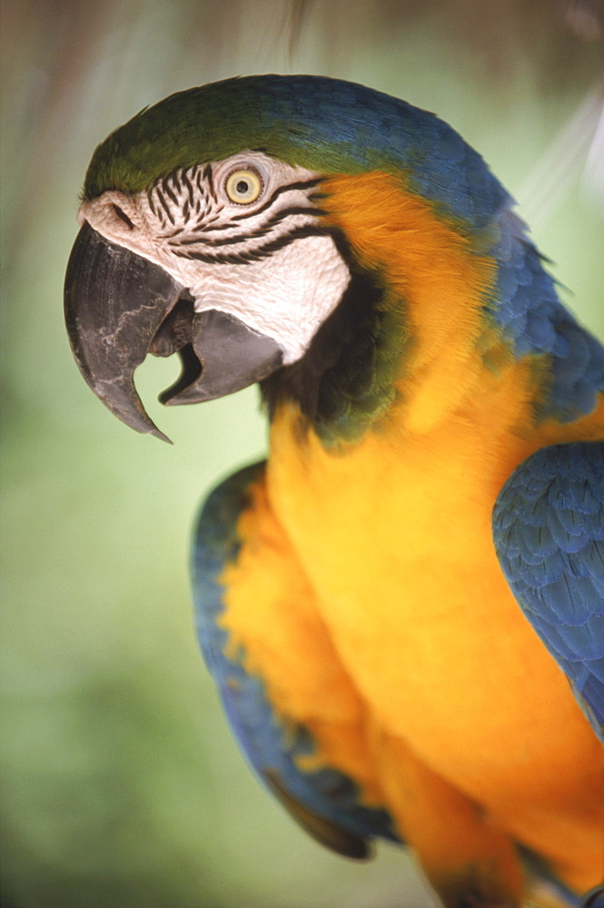 A blue and gold macaw, an endangered species, at the Nassau zoo in the Bahamas.
