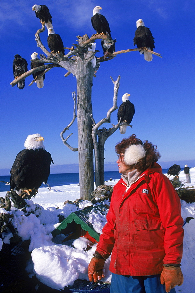 The Eagle Lady, 81-year old Jean Keene, attracts 200 to 300 bald eagles (Haliaeetus leucocephalus) every winter morning with her banquet of surplus fish. Keene has fed a gathering of eagles at the Homer Spit Campground in Alaska every winter morning for 25 years. What started out as just 2 eagles eventually became a huge gathering of the magnificent birds.