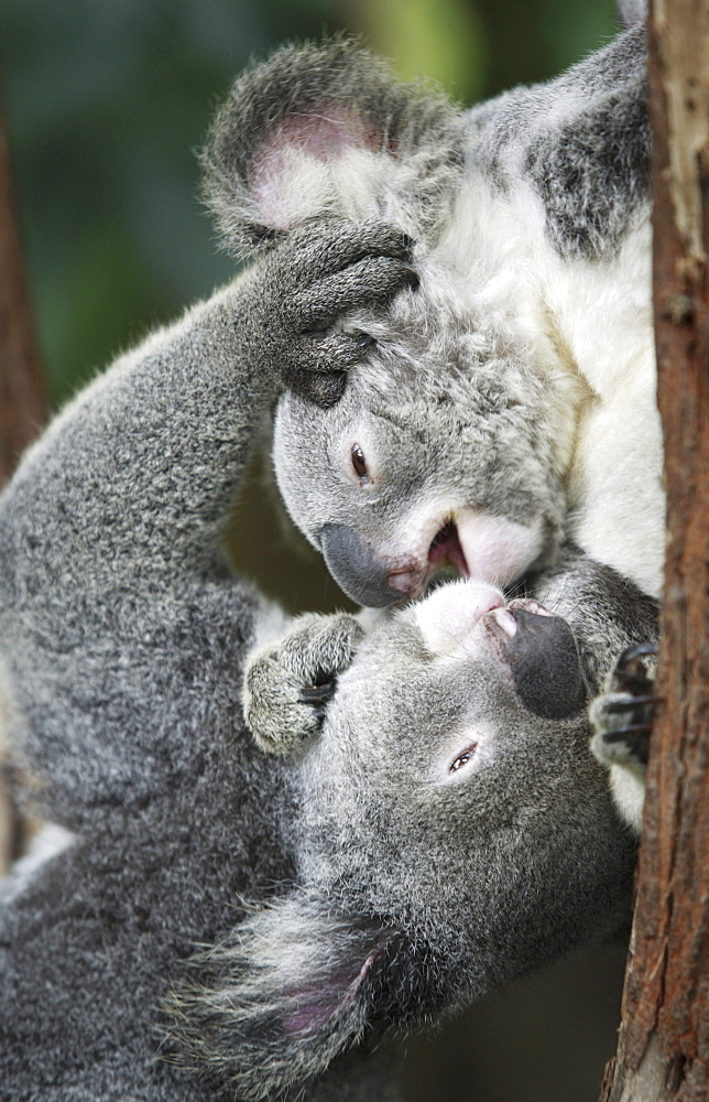Koala Bears, Phascolarctos cinereus, fight at a zoo in Kuranda, Australia