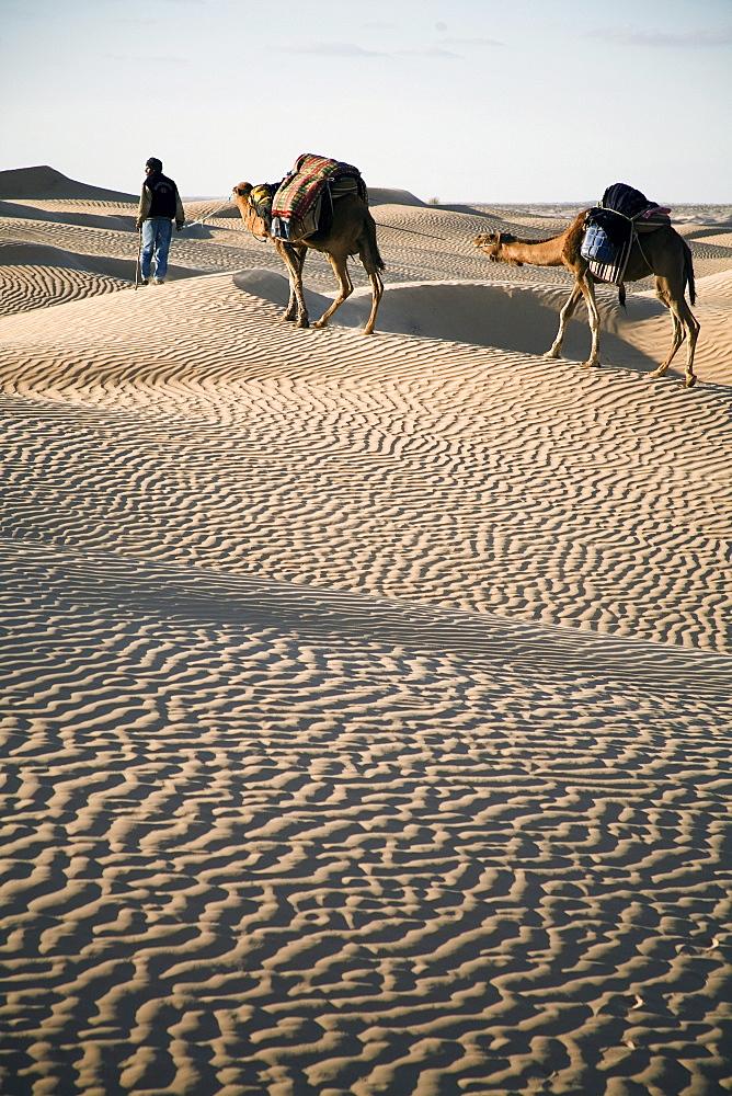 Camel trekking guide Nasser leads two camels (dromedaries) across the desert.