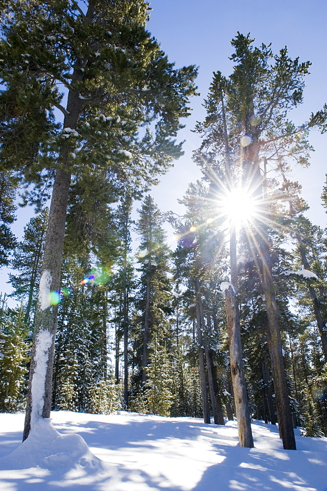 Sunlight streaming through the trees on February 15, 2008 in winter in Yellowstone National Park, Wyoming.