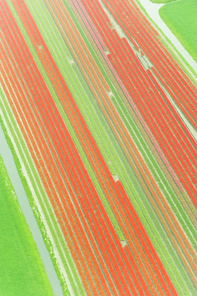 Looking down on tulips fields from an airplane, Holland, Netherlands.