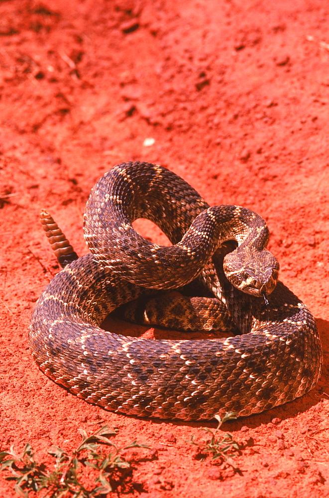Western diamondback rattlesnake (Crotalus atrox) coils in red-hued soil.