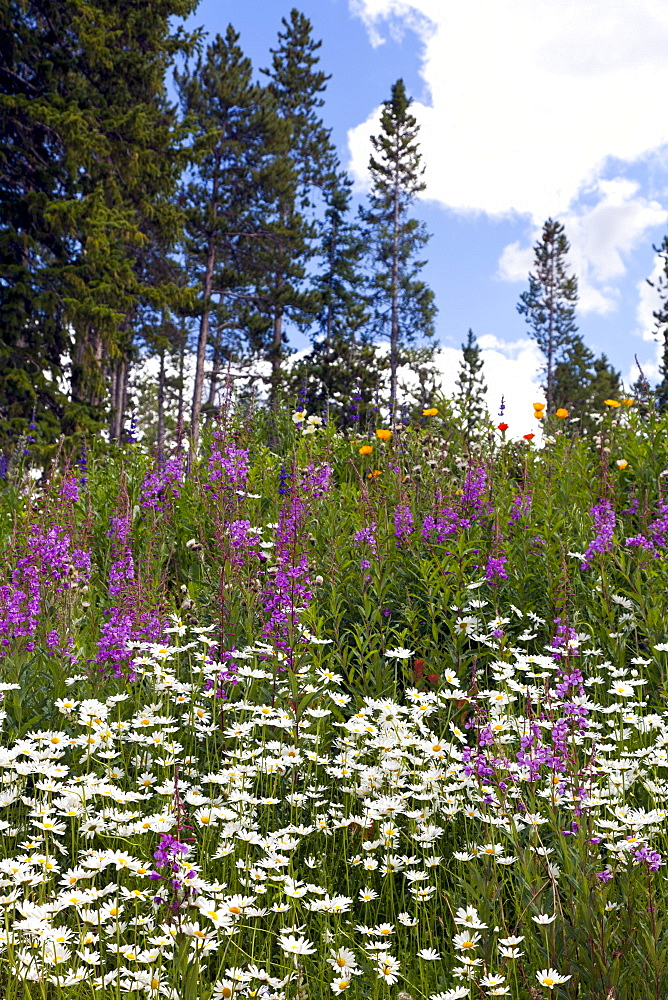 Summer brings colorful displays of wildfllowers along the roads of Peak Seven.