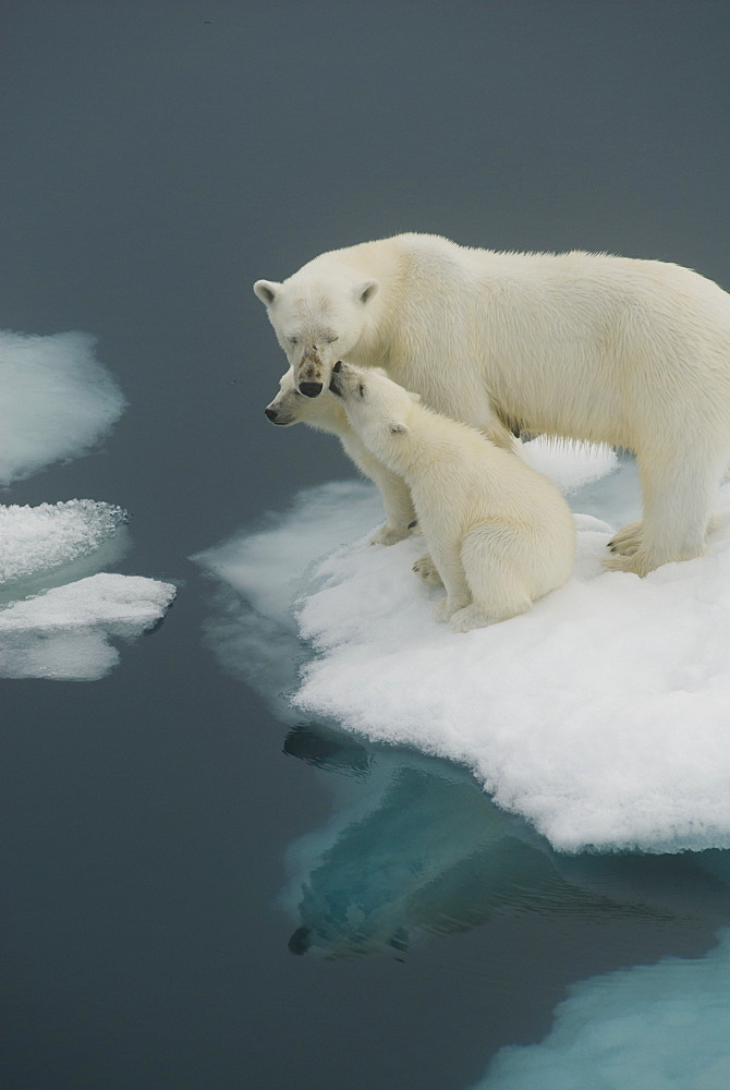 Female polar bear (Ursus maritimus) and two cubs on pack ice, Hinlopen Straight, Spitsbergen/Svalbard, Norway, on 28 July 2007. Polar bears primary habitat of sea ice is threatened due to global warming and rising temperatures in the Arctic regions, Norway