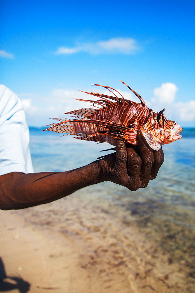 JAMAICA. A black man holds a dead, well-preserved lion fish in his outtretched hand with a shallow-water beach scene in background.