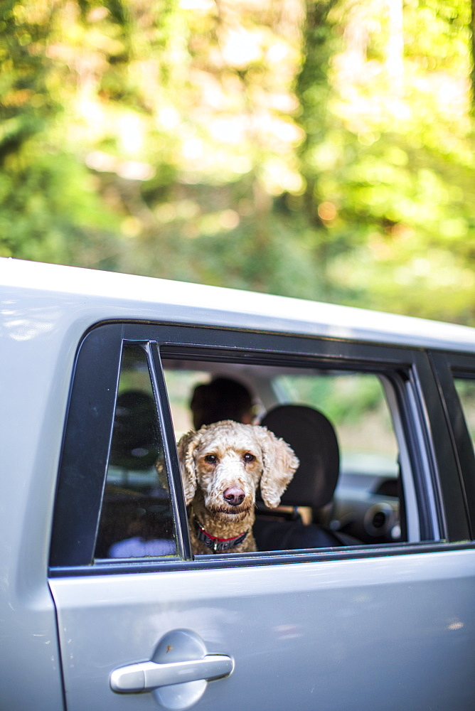 A dog looks out the window of a car.
