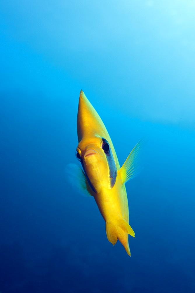 Masked Butterflyfish, Chaetodon semilarvatus, Elphinestone Reef, Red Sea, Egypt