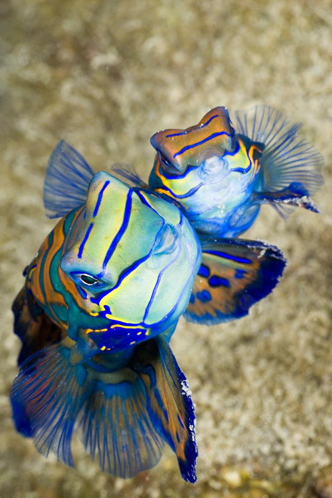 Mating Mandarinfish, Syhchiropus splendidus, Micronesia, Palau