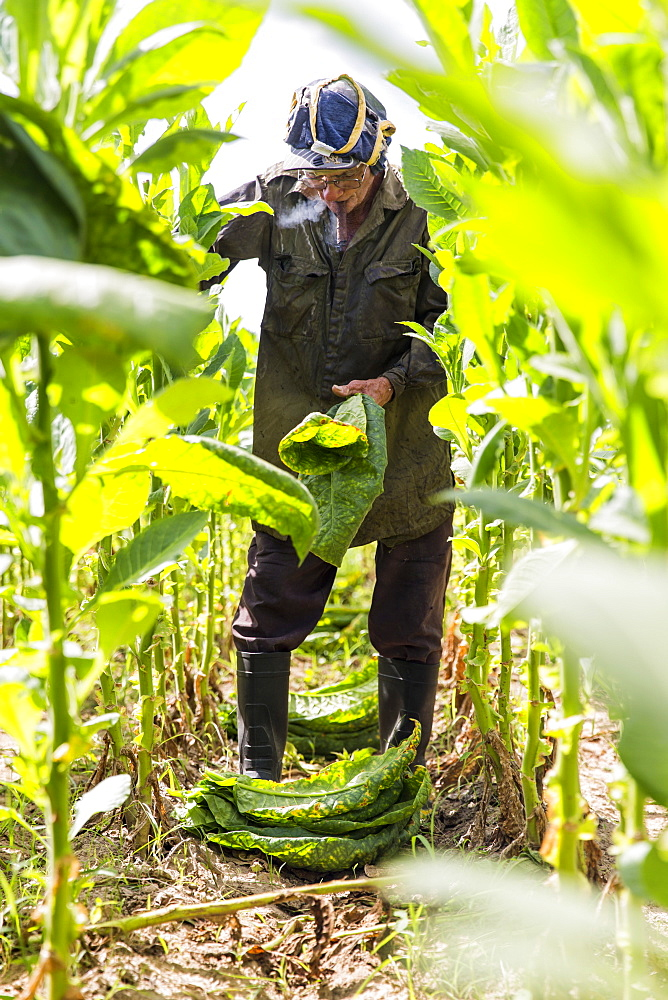 Man smoking cigar while harvesting tobacco leaves in plantation, Vinales, Pinar del Rio Province, Cuba