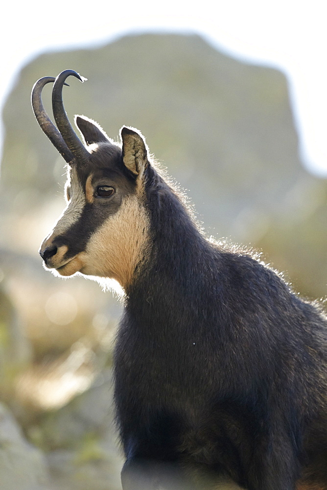 Portrait of Alpine Chamois, Mercantour Alpes France