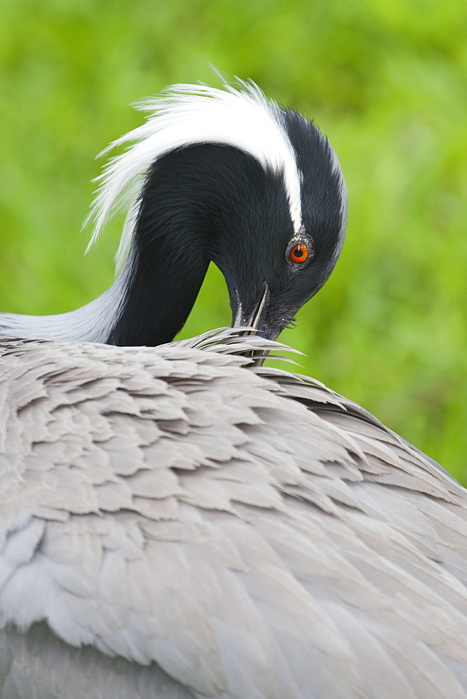 Portrait of  Demoiselle Crane, Bird Park Brazil