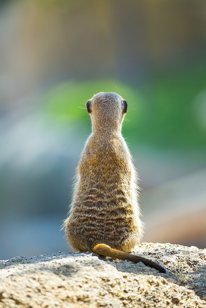 Meerkat sitting on rock