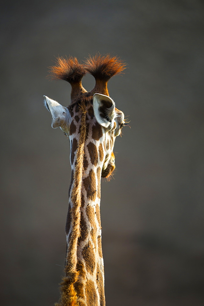 Portrait of Rothschild's Giraffe