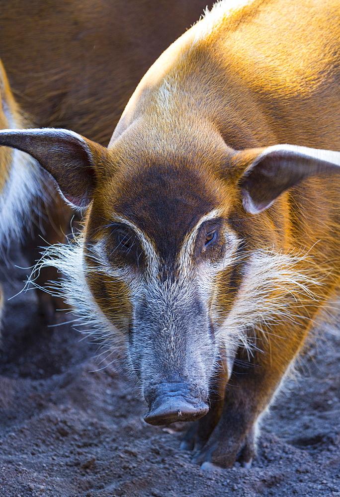 Portrait of Red river hog
