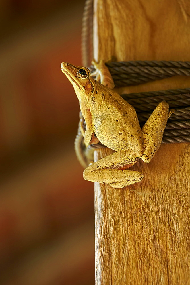 Asian Brown Treefrog inside a house, Bali Indonésia