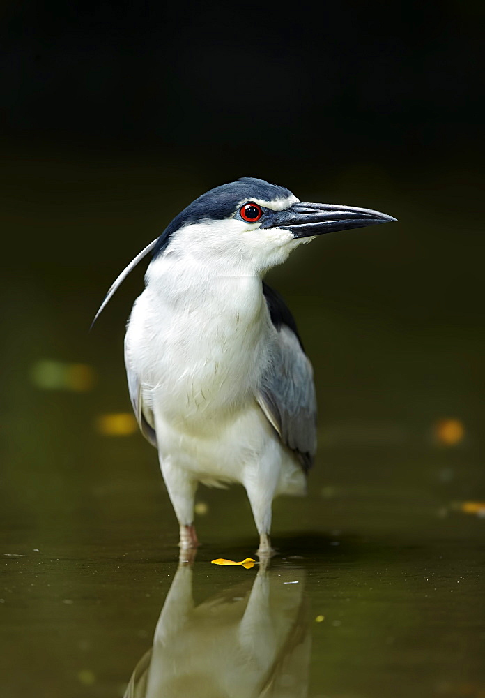 Wild Black-crowned Night-heron, Jurong Bird Park  Singapore