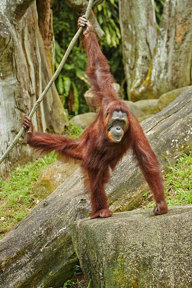 Orangutan hanging on liana, Singapore Zoo
