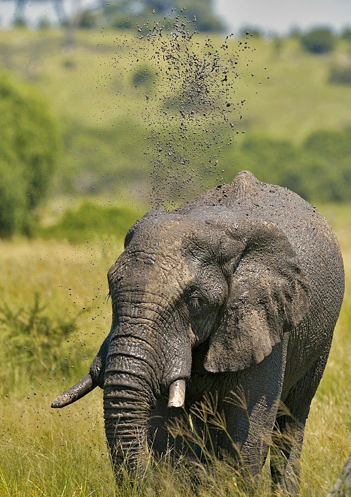 African Elephant throwing mud, Savuti Chobe NP Botswana