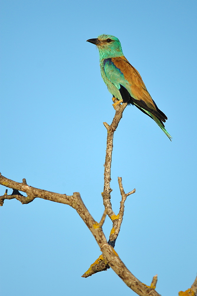 European Roller on branch, France