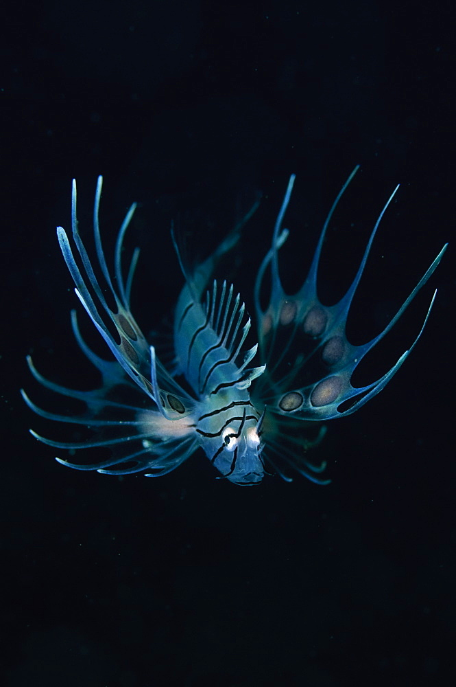 Juvenile lionfish, Beangabang Bay  Pantar Island  Indonesia