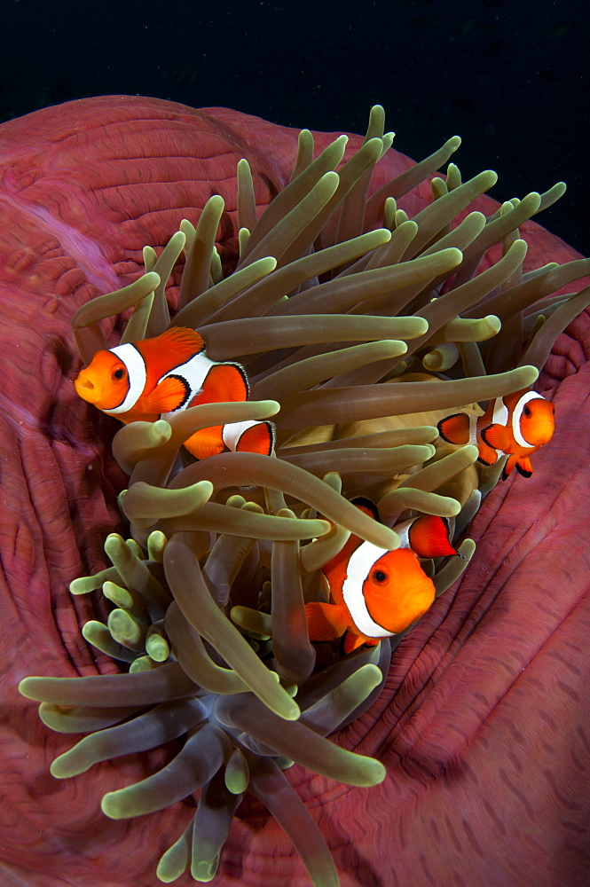 False clownfish in magnificent anemone, Komodo Indonesia