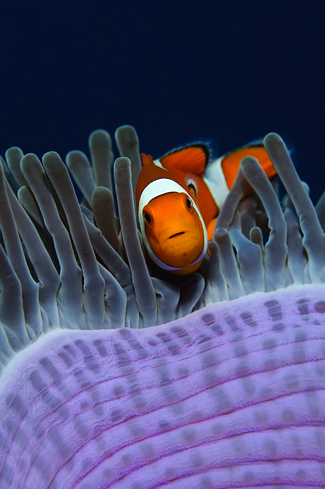 False clown anemonefish in magnificent anemone, Indonesia