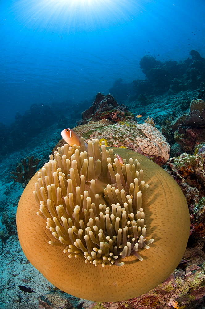 Magnificent anemone with Pink anemone fish-Bunaken Indonesia