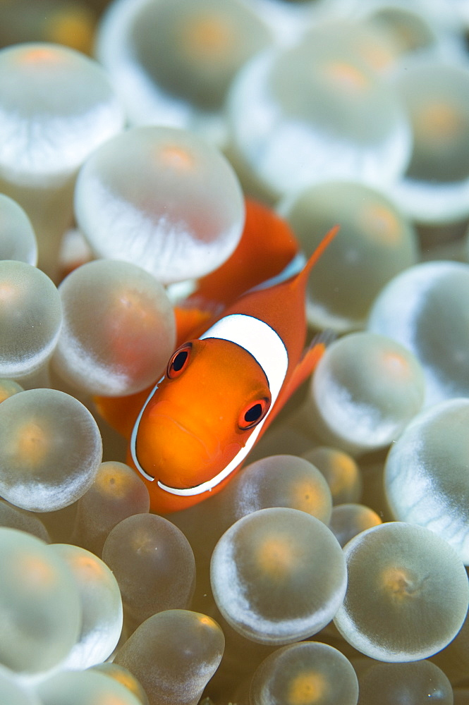 Spinecheek anemonefish, Raja Ampat  Indonesia