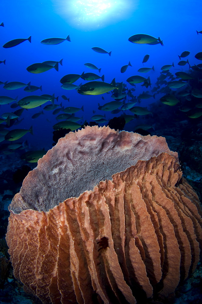 Giant barrel sponge and Unicornfish, Raja Ampat  Indonesia